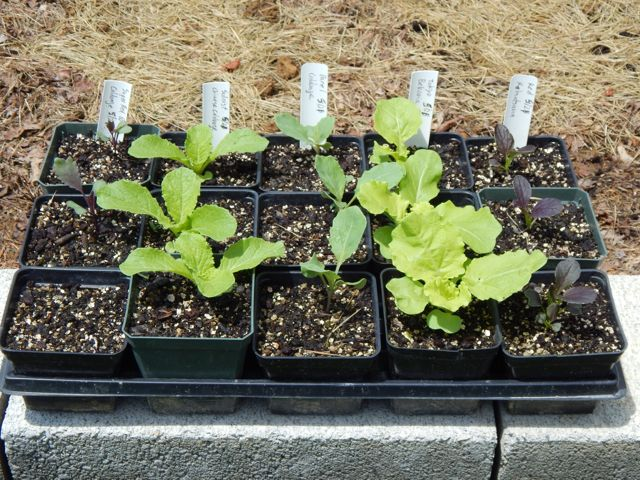 Give each transplant enough elbow room to grow well.