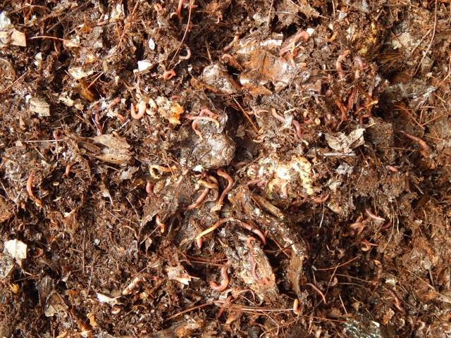 Worms in leaf bedding